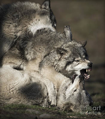 Photograph - Timber Wolves by Wolves Only