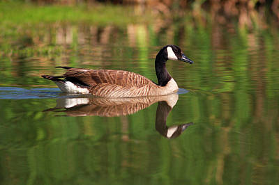 Canada Goose Photograph - Usa, California, San Diego, Lakeside by Jaynes Gallery