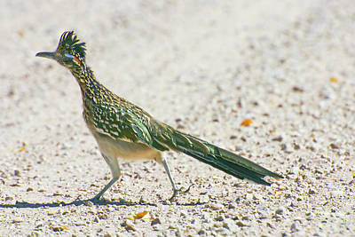 Roadrunner Wall Art - Photograph - Usa, New Mexico, Bosque Del Apache by Jaynes Gallery