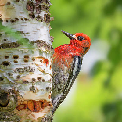 Sapsucker Wall Art - Photograph - Usa, Washington State, Seabeck by Jaynes Gallery