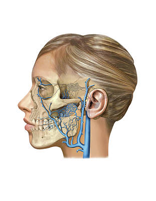 Venous System Of The Head And Neck Art Print
