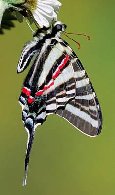 Photograph - Zebra Swallowtail Butterfly by Millard H. Sharp