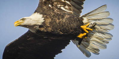Photograph - 140101a-106 Bald Eagle With Fish 2 by Albert Seger