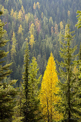 Photograph - Golden Tamarack - 141008a-142 by Albert Seger