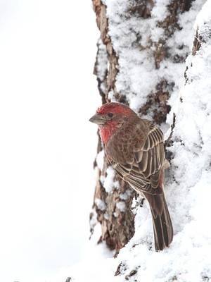 Photograph - House Finch by Jack R Brock