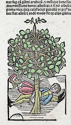 1491 Bausor Opium Tree Hortus Sanitatis Art Print