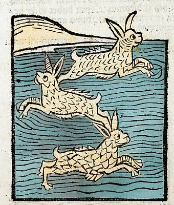1491 Sea Hares From Hortus Sanitatis Art Print