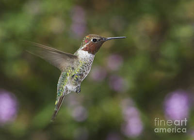 Photograph - Anna's Hummingbird by Dan Suzio