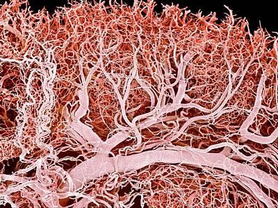 Blood Vessels Of A Lymph Node Art Print by Susumu Nishinaga