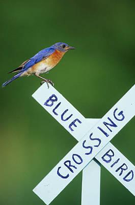 Eastern Bluebird (sialia Sialis Art Print by Richard and Susan Day