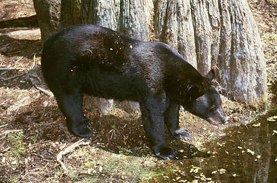 Photograph - Florida Black Bear by Millard H. Sharp