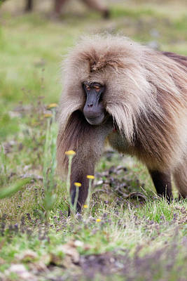 Bleeding Hearts Photograph - Gelada, Gelada Baboon (theropithecus by Martin Zwick