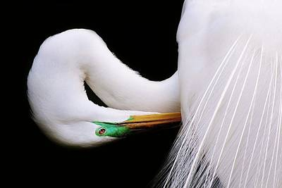 Great White Egret Art Print by Paulette Thomas