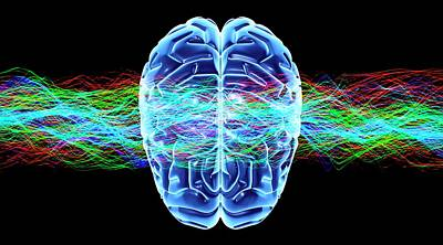 Organ Photograph - Human Brain by Pasieka