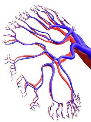 Human Kidney Art Print