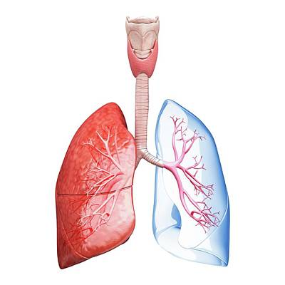 Human Lungs Print by Pixologicstudio