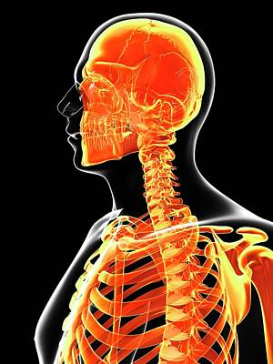 Human Head Photograph - Human Skull And Neck Bones by Sebastian Kaulitzki