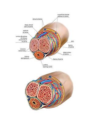 Mechanism Photograph - Male Genital System by Asklepios Medical Atlas