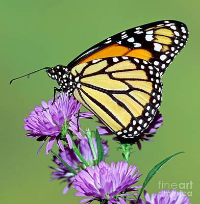 Monarch Butterfly Art Print by Millard H Sharp