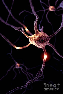 Photograph - Neurons by Science Picture Co