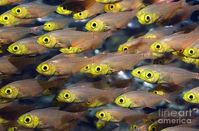 Photograph - Pygmy Sweeper Fish by Georgette Douwma