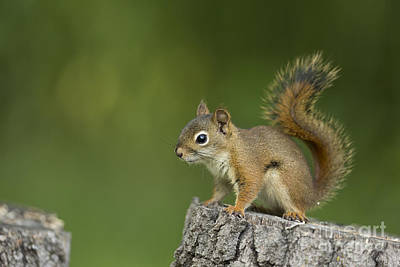 Pine Squirrel Photograph - Red Squirrel by Linda Freshwaters Arndt