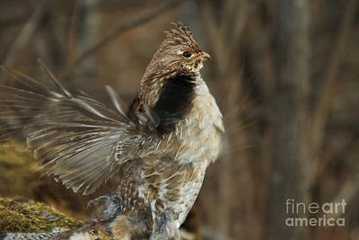 Ruffed Grouse Courtship Display Art Print