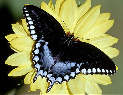 Photograph - Spicebush Swallowtail Butterfly by Millard H. Sharp