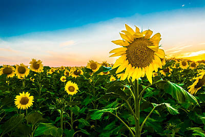 Photograph - Sunflower by Melinda Ledsome