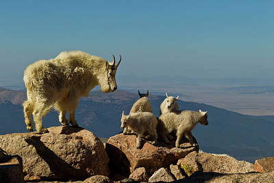 Rocky Mountain Goat Photograph - Usa, Colorado, Mount Evans by Jaynes Gallery