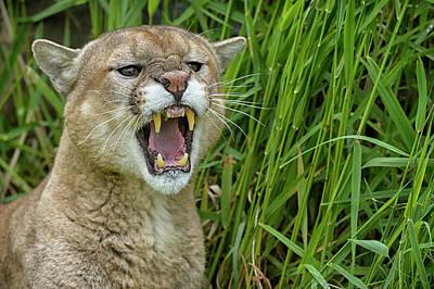 Puma Photograph - Usa, Minnesota, Sandstone, Minnesota by Rona Schwarz