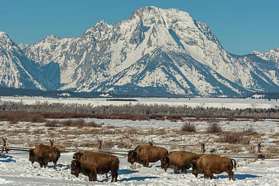 Bison Photograph - Usa, Wyoming, Grand Teton National Park by Jaynes Gallery