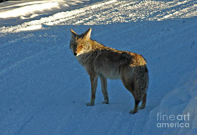 Photograph - 150p Coyote by NightVisions