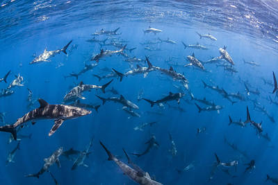 Photograph - 151 Silky Sharks by J Gregory Sherman