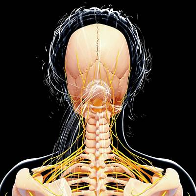 Female Nervous System Art Print by Pixologicstudio/science Photo Library