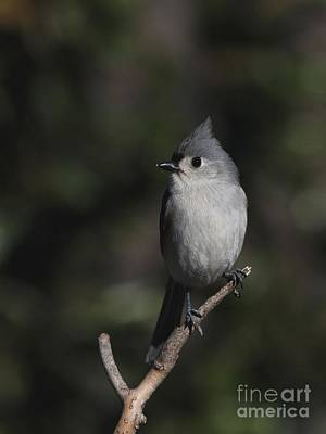 Photograph - Tufted Titmouse by Jack R Brock