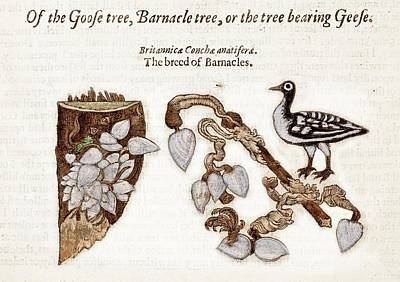 Gerald Photograph - 1597 Goose Barnacle Tree Of Gerard Herbal by Paul D Stewart