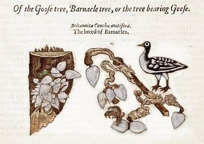 Barnacles Wall Art - Photograph - 1597 Goose Barnacle Tree Of Gerard Herbal by Paul D Stewart
