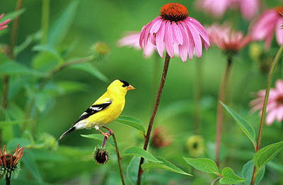 American Goldfinch (carduelis Tristis Print by Richard and Susan Day