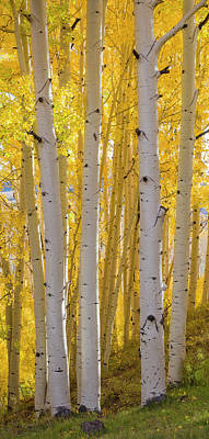 Boulder Mountain Photograph - Aspen Trees In A Forest, Boulder by Panoramic Images