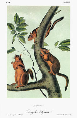 Pine Squirrel Painting - Audubon Squirrel by Granger
