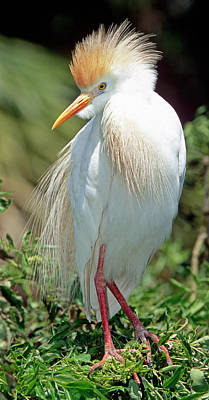 Photograph - Cattle Egret Adult In Breeding Plumage by Millard H. Sharp