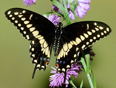 Photograph - Eastern Black Swallowtail Butterfly by Millard H. Sharp