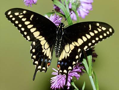 Photograph - Eastern Black Swallowtail Butterfly by Millard H. Sharp
