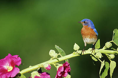 Hollyhock Photograph - Eastern Bluebird (sialia Sialis by Richard and Susan Day