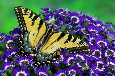 Swallowtail Photograph - Eastern Tiger Swallowtail Papilio by Darrell Gulin