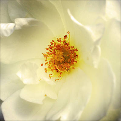 Stamen Photograph - Flower  by Les Cunliffe