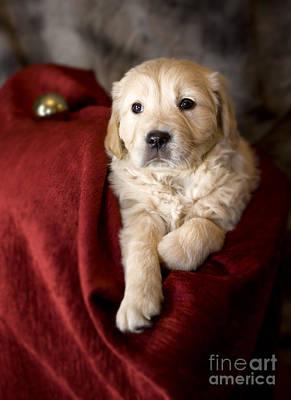 Golden Retriever Puppy Art Print by Angel  Tarantella