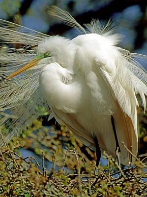 Photograph - Great Egret by Millard H. Sharp