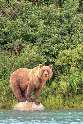 Photograph - Grizzly Bears Also Called Brown Bears by Tom Norring